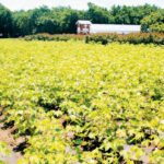 'Cotton sector can create 40,000 jobs'
