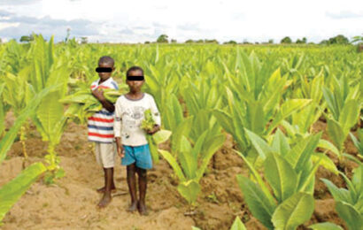 Growers, TC upbeat on tobacco 'ban' removal