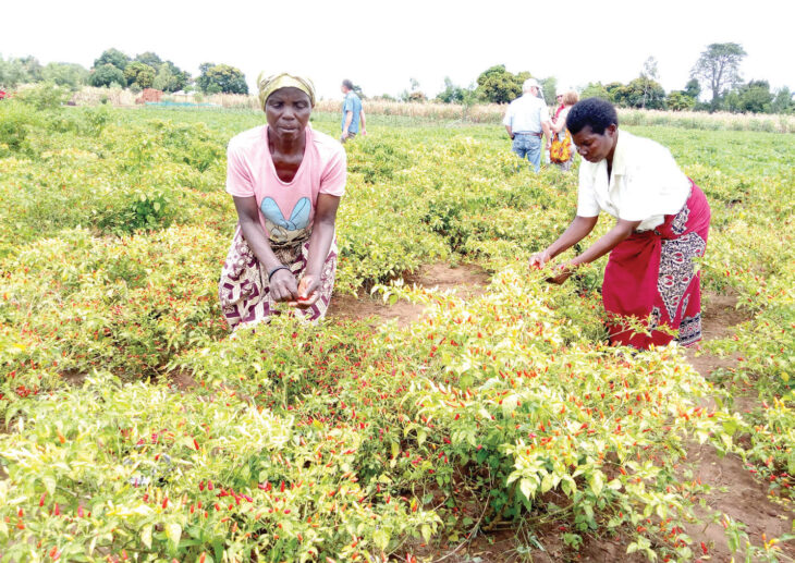 Firm for intensified pepper production