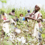 Cotton farmers pray for stable markets