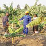 Firm finds K280 billion banana markets