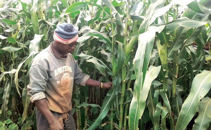 Admarc strict on Maize purchase