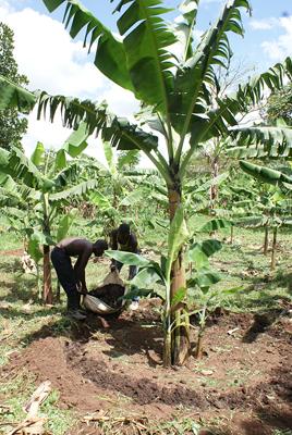 making water canal around banana tree
