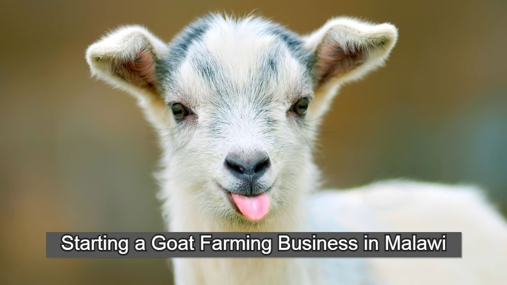 Cute goat face in Malawi