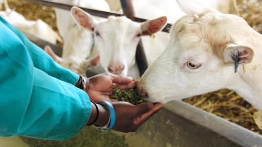feeding goats in africa