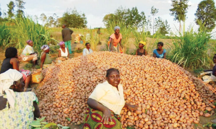 3 potato varieties released - The Times Group Malawi