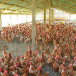Ministry for sanity in poultry business