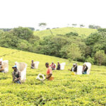 Tea rakes in K2.4 billion