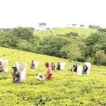 Tea rakes in K2.4 billion