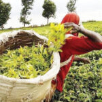 Mixed outlook on tea market