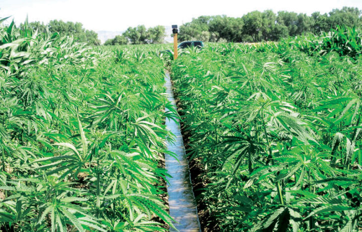 Cannabis fees debate rages - The Times Group Malawi