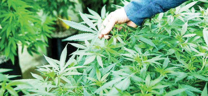 Multinational hails cannabis industry - The Times Group Malawi